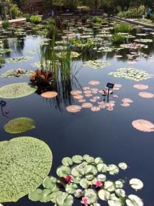 Lily pond at Botanic Gardens.